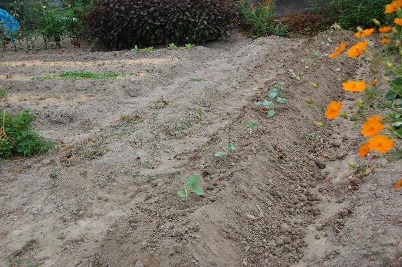 サツマイモ掘り・・・我が家の農園_c0108460_16252083.jpg