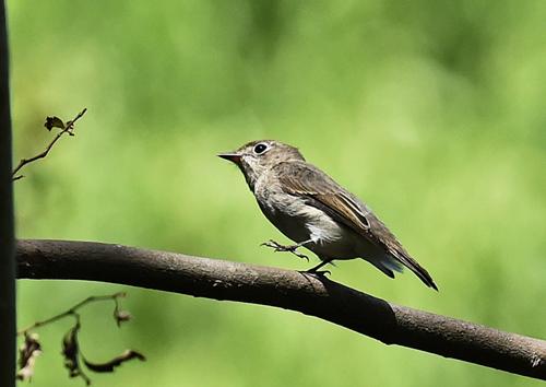 水元公園=オオルリ、コサメビタキ、エゾビタキ、キビタキ - 水元公園の野鳥達