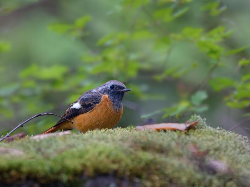 留鳥ジョウビタキ_a0204089_2211716.jpg