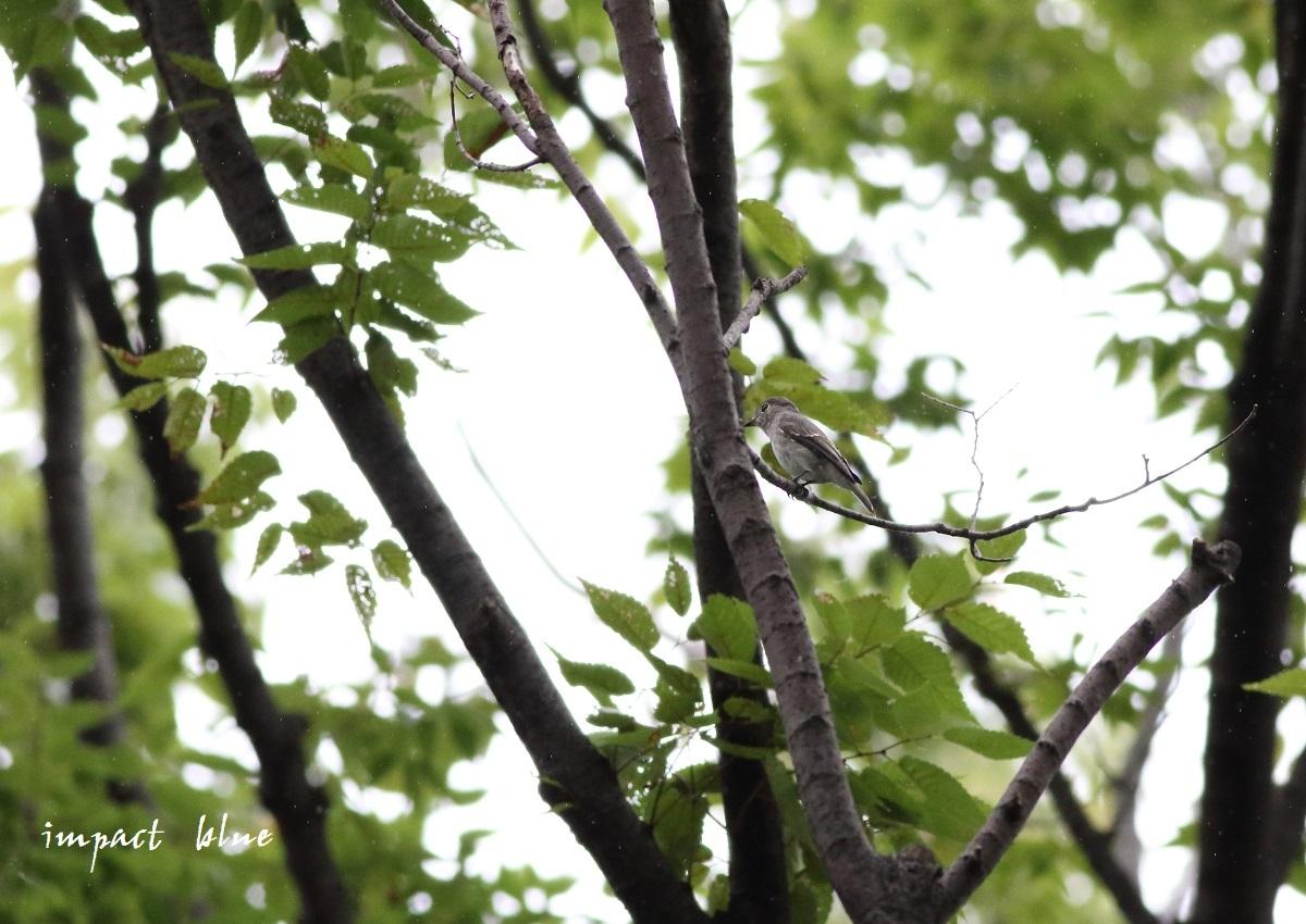 小雨降る中、コサメビタキさん(^^)/_a0355908_12132840.jpg