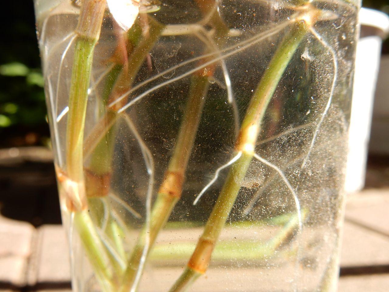 多くの植物は水に挿しておくだけで根が出てくる_c0025115_23242399.jpg