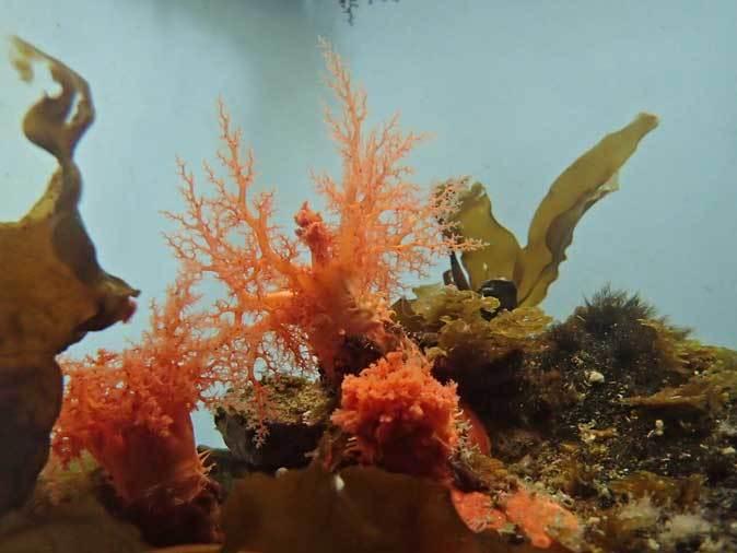 葛西臨海水族園~北極海のダンゴウオと美しきナマコ_b0355317_19171264.jpg