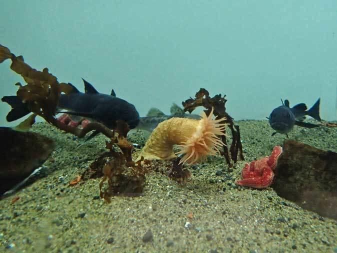 葛西臨海水族園~北極海のダンゴウオと美しきナマコ_b0355317_19300468.jpg