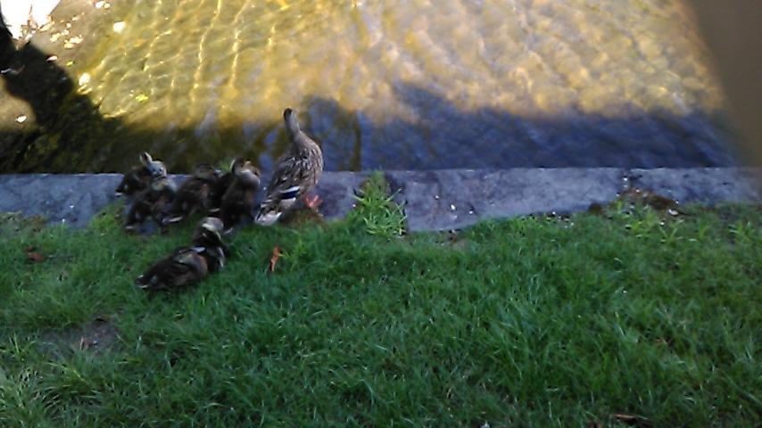 札幌芸術の森の鴨!_d0261282_23561759.jpg
