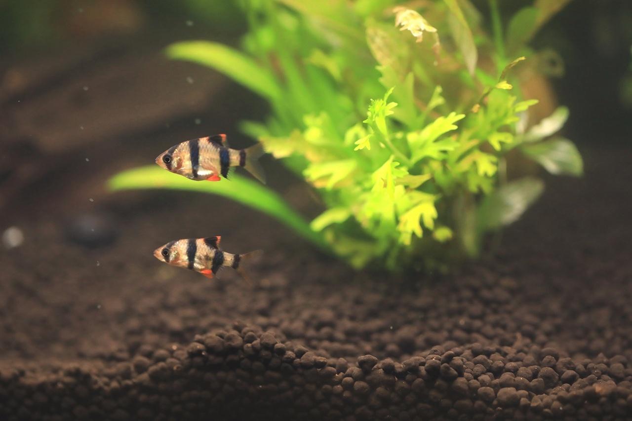 8種類の熱帯魚が泳いでます~_a0188405_21052563.jpg
