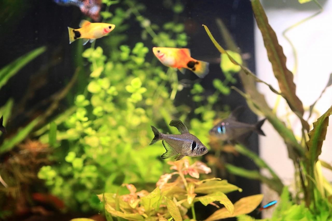 8種類の熱帯魚が泳いでます~_a0188405_21095178.jpg