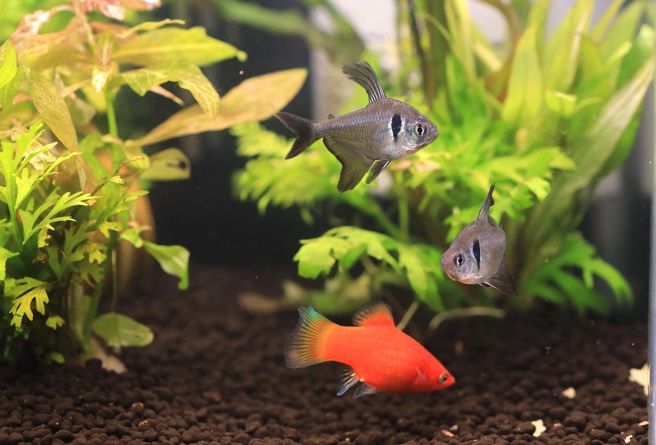 8種類の熱帯魚が泳いでます~_a0188405_21105103.jpg