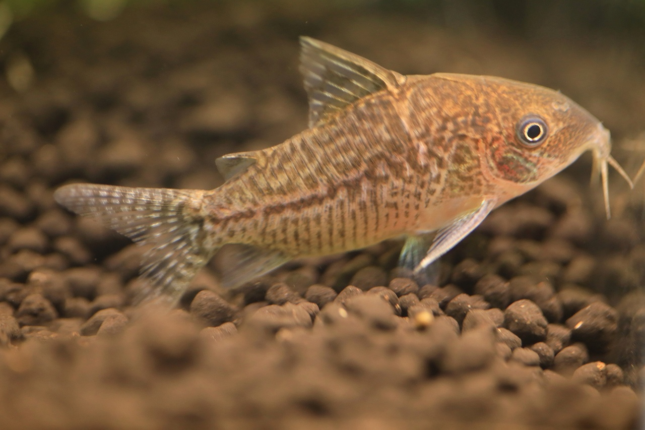 8種類の熱帯魚が泳いでます~_a0188405_21395731.jpg