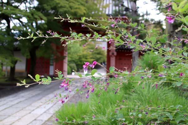 真如堂で萩が盛り直前_e0048413_20483301.jpg
