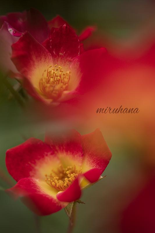 花菜ガーデン満喫。_c0037519_12041264.jpg