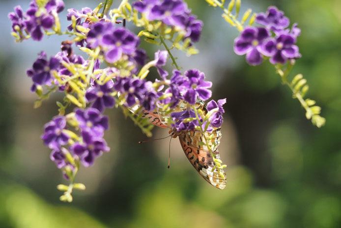 温室の蝶-6 ツマグロヒョウモン-Ⅱ_d0149245_20063385.jpg