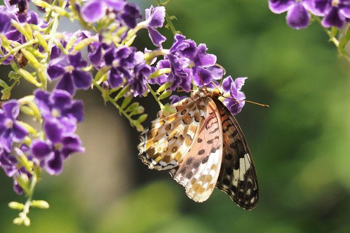 温室の蝶-6 ツマグロヒョウモン-Ⅱ_d0149245_20064054.jpg