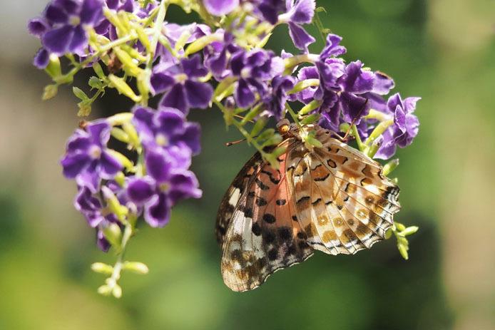 温室の蝶-6 ツマグロヒョウモン-Ⅱ_d0149245_20064686.jpg