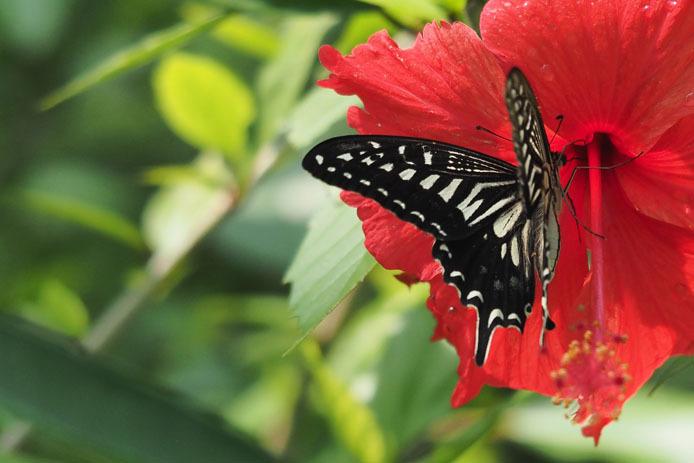 温室の蝶-7 ナミアゲハとハイビスカス_d0149245_20101176.jpg