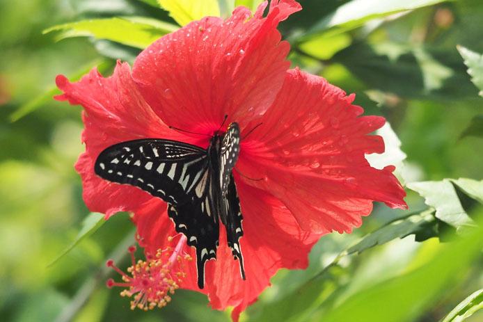 温室の蝶-7 ナミアゲハとハイビスカス_d0149245_20101881.jpg