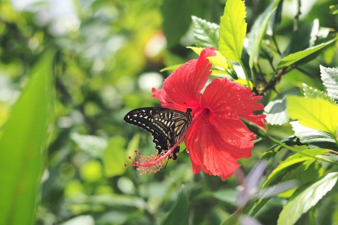 温室の蝶-7 ナミアゲハとハイビスカス_d0149245_20102167.jpg