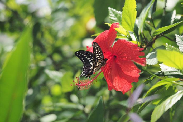 温室の蝶-7 ナミアゲハとハイビスカス_d0149245_20102550.jpg