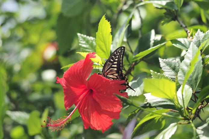 温室の蝶-7 ナミアゲハとハイビスカス_d0149245_20103037.jpg