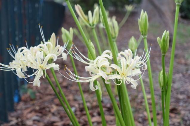 彼岸花が咲き始めました_e0232277_10455987.jpg