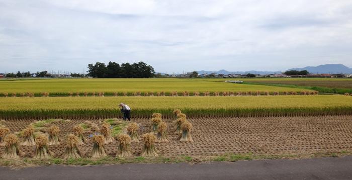 秋色の田んぼ、蕎麦畑、青森駅前干潟など_a0136293_15521678.jpg
