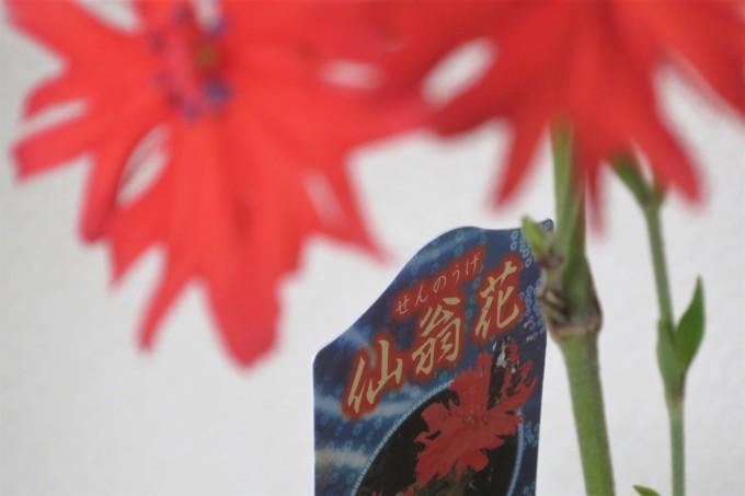 仙翁花(センノウゲ)と紫苑(シオン)いけばな_a0214206_23595287.jpg