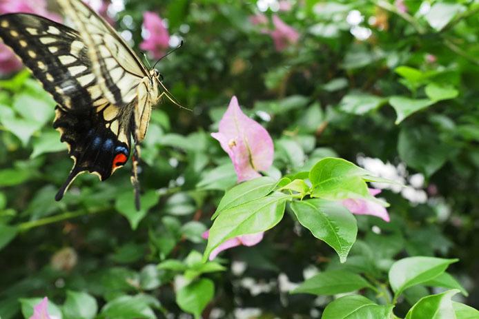 温室の蝶-8 キアゲハ_d0149245_22353913.jpg
