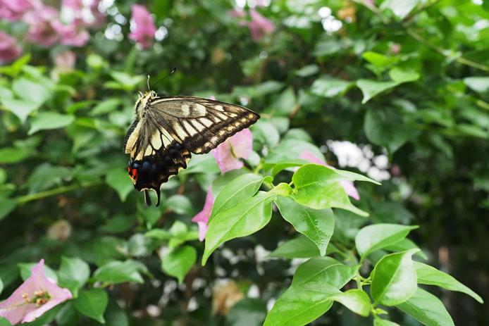 温室の蝶-8 キアゲハ_d0149245_22354476.jpg