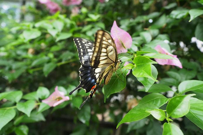 温室の蝶-8 キアゲハ_d0149245_22354953.jpg