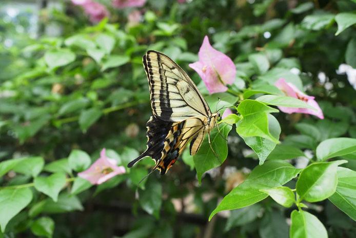 温室の蝶-8 キアゲハ_d0149245_22355335.jpg