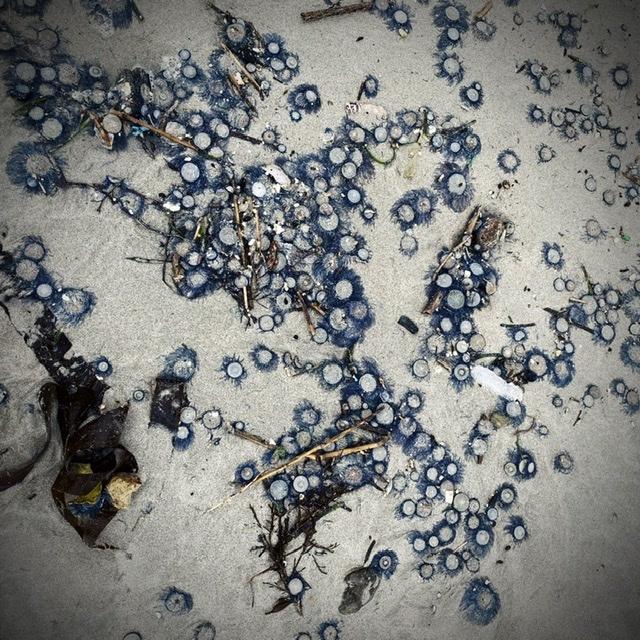 青い貝がたくさん‼これって大量漂着?~9/22 伊勢 国府の浜_c0312349_10133213.jpeg