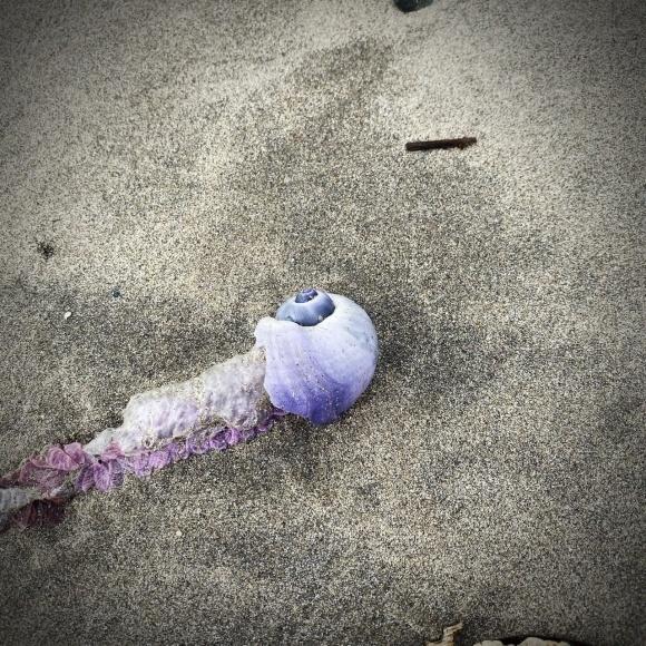 青い貝がたくさん‼これって大量漂着?~9/22 伊勢 国府の浜_c0312349_14431719.jpeg