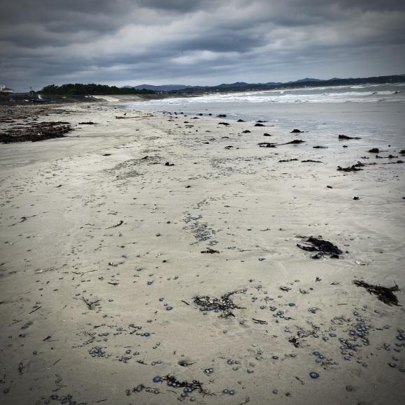 青い貝がたくさん‼これって大量漂着?~9/22 伊勢 国府の浜_c0312349_21194260.jpeg