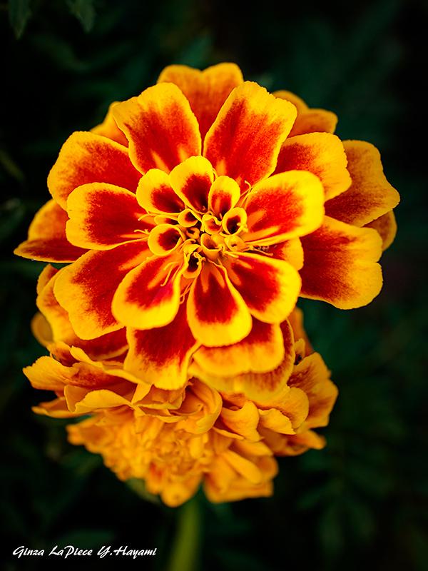 花のある風景 マリーゴールド_b0133053_01161738.jpg