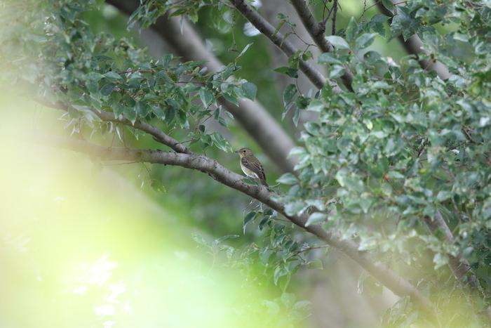 MFの森でツツドリ&キビタキ雌_f0239515_15174759.jpg
