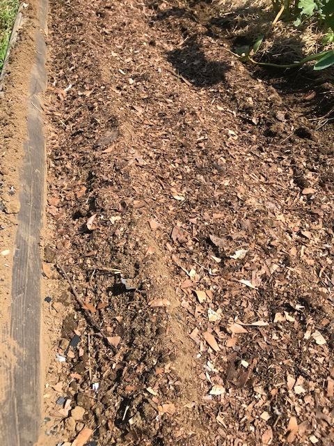 ニンニク植え付け、3回目の大根種蒔き:9・20、22_c0014967_12210890.jpg