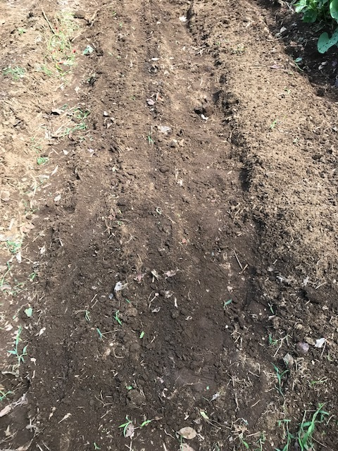 ニンニク植え付け、3回目の大根種蒔き:9・20、22_c0014967_12233232.jpg