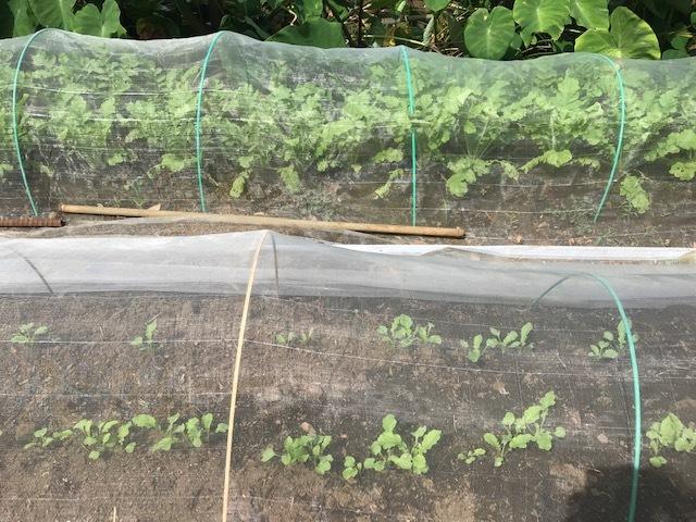 ニンニク植え付け、3回目の大根種蒔き:9・20、22_c0014967_12235311.jpg