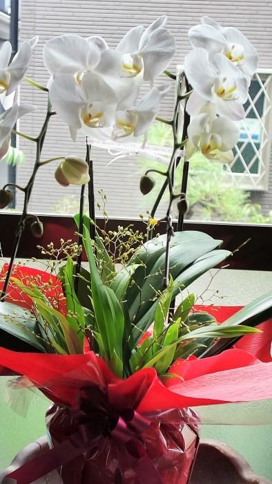 ■お誕生日プレゼント【アメリカ東海岸在住の二女から 胡蝶蘭/オンシジュウムの寄せ植えが届きました♪豪華絢爛!!】_b0033423_09444256.jpg