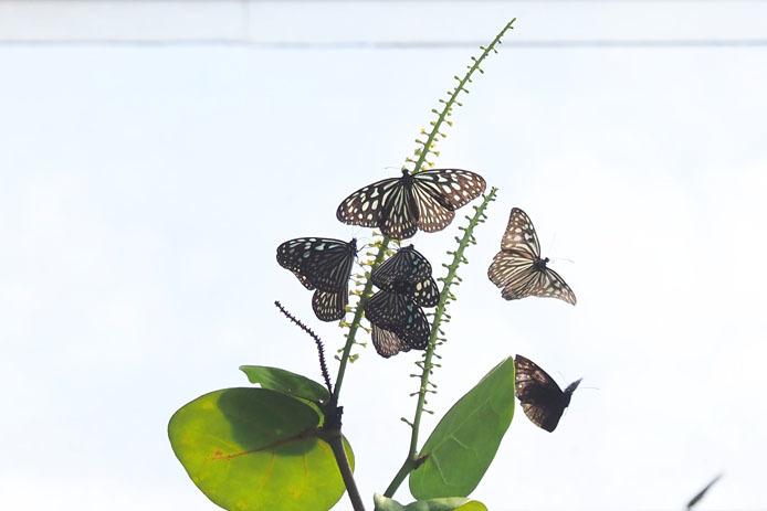 温室の蝶-9 マダラチョウ_d0149245_08402408.jpg