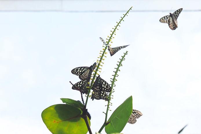 温室の蝶-9 マダラチョウ_d0149245_08402916.jpg