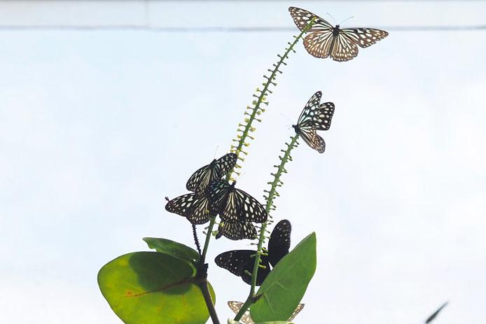 温室の蝶-9 マダラチョウ_d0149245_08403401.jpg