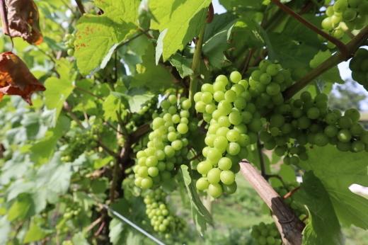 イギリスの旅3日目 ガーデンツアー 2日目 Wyken Vineyardsその1_e0194723_21043885.jpg