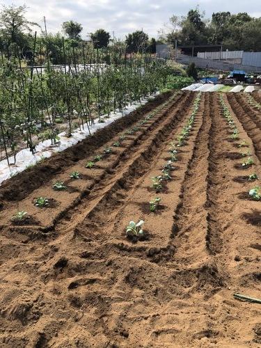 カリフラワー カリフローレ ロマネスコ 芽キャベツ の定植_c0222448_12092292.jpg