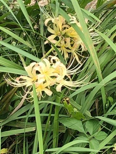 カリフラワー カリフローレ ロマネスコ 芽キャベツ の定植_c0222448_12100351.jpg