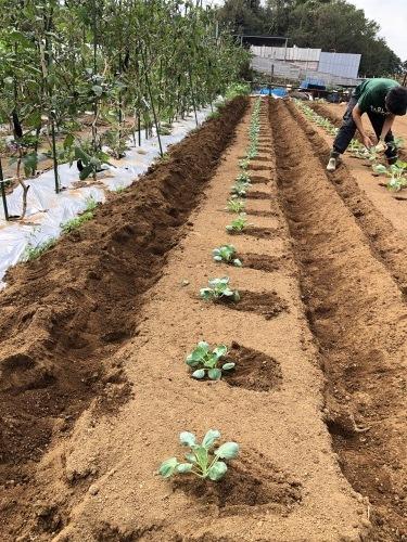 カリフラワー カリフローレ ロマネスコ 芽キャベツ の定植_c0222448_12102898.jpg
