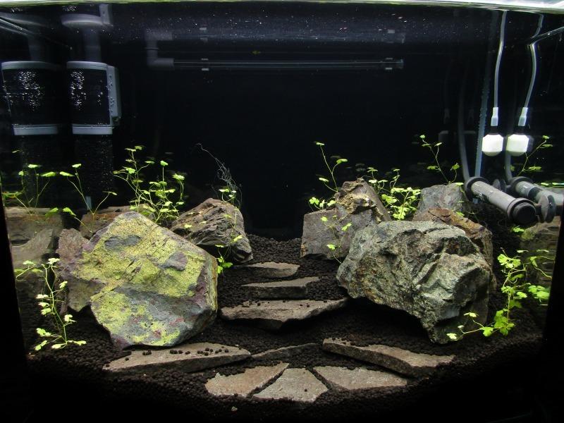 アクアリウム「オーストラリアンノチドメ植栽から2日目」_b0362459_20551994.jpg