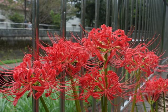 翌日、赤い彼岸花は満開でした_e0232277_10421519.jpg