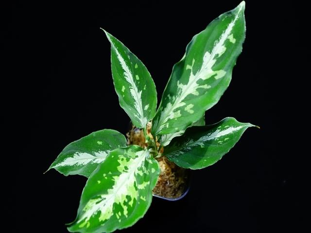 "Aglaonema pictum\""ちゃんぷーる\""BNN from Sibolga timur【AZ0516-3】_a0067578_19332394.jpg"