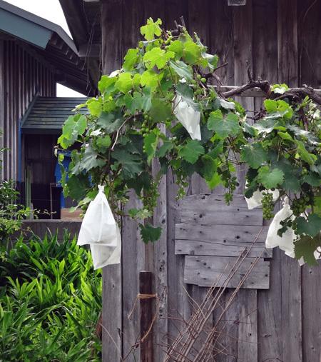 夏から秋、庭の恵みはブドウ、イチジク、ミョウガ等々♪_a0136293_15551951.jpg