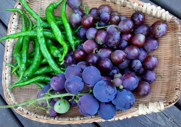 夏から秋、庭の恵みはブドウ、イチジク、ミョウガ等々♪_a0136293_16011664.jpg